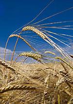 Barley (جو)